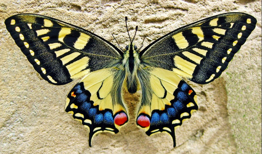 A Swallowtail butterfly, a large yellow and black butterfly with a blue and red tail.