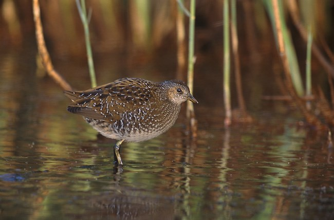 Spotted Crake (a roundish bird, with speckled feathers) standing in shallow water with reeds in the background.