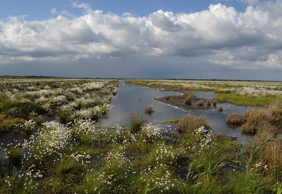 A open landscape, with standing water, and rows of cottongrass plants, under a stormy sky.